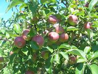 http://1.bp.blogspot.com/-eQepu8xzemc/TmeB5wXu0mI/AAAAAAAAACk/nQ3JlR2d4Wc/s200/apples.jpg